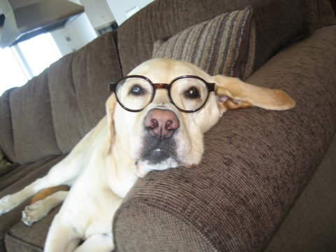 Picture of Gus the dog, wearing glasses